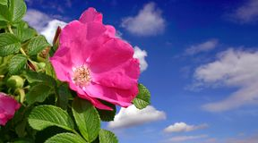 Rosa bonita fotografia de stock