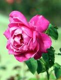 Rosa bonita foto de stock royalty free