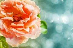 Rosa bonita Foto de Stock