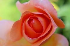 Rosa bonita Fotos de Stock Royalty Free