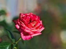 Rosa bonita Imagem de Stock Royalty Free