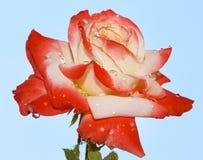 Rosa bonita Fotografia de Stock Royalty Free
