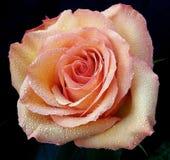 Rosa bonita Fotos de Stock