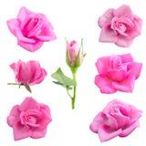 Rosa bonita brilhante do rosa Foto de Stock