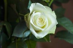 Rosa bonita da flor da cor branca folhas e espinhos do verde Ainda vida 1 Fundo cor-de-rosa calmo Fotografia de Stock