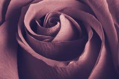 Rosa bonita de encantamento, fim acima imagem de stock royalty free