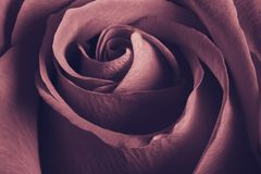 Rosa bonita de encantamento, fim acima, retro fotografia de stock royalty free