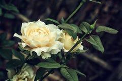 Rosa bonita do branco da flor no fim do jardim acima do foco seletivo Foto de Stock Royalty Free