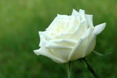 Rosa bonita do branco em um jardim Imagem de Stock Royalty Free