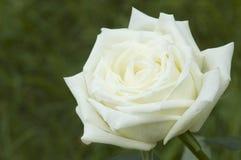 Rosa bonita do branco em um jardim Fotografia de Stock Royalty Free