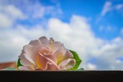 Rosa bonita do branco no céu azul Fotos de Stock Royalty Free
