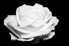 Rosa bonita do branco no preto Foto de Stock Royalty Free