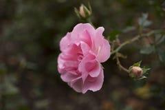 Rosa bonita do rosa no close up do jardim Foto de Stock Royalty Free