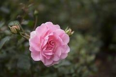 Rosa bonita do rosa no close up do jardim Imagens de Stock Royalty Free