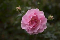 Rosa bonita do rosa no close up do jardim Fotografia de Stock Royalty Free