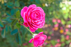 Rosa bonita do rosa Fotografia de Stock Royalty Free