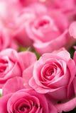 A rosa bonita do rosa floresce o fundo Fotos de Stock Royalty Free