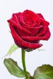 Rosa bonita do vermelho com haste e folhas Foto de Stock Royalty Free