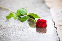 A rosa bonita do vermelho com verde sae à esquerda na rua em uma poça Fotografia de Stock Royalty Free
