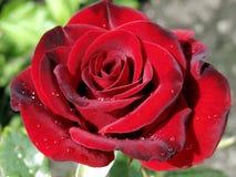 Rosa bonita do vermelho de Borgonha de um jardim incrível imagem de stock royalty free