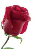 Rosa bonita do vermelho isolada no branco Fotografia de Stock