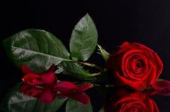 Rosa bonita do vermelho no fundo preto Fotografia de Stock Royalty Free