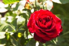 A rosa bonita do vermelho no jardim, natureza verde planta o fundo Dia ensolarado Imagens de Stock