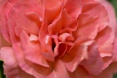 rosa bonita na fotografia macro cor-de-rosa imagem de stock royalty free