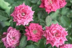 Rosa bonita no jardim, rosas cor-de-rosa do rosa com fundo bl fotografia de stock