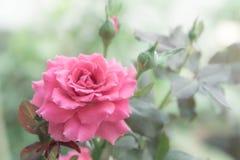 Rosa bonita no jardim, rosas cor-de-rosa do rosa com fundo bl imagens de stock