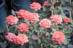 Rosa bonita no jardim, rosas cor-de-rosa do rosa com fundo bl imagem de stock royalty free