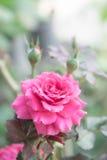 Rosa bonita no jardim, rosas cor-de-rosa do rosa com fundo bl foto de stock