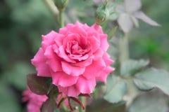 Rosa bonita no jardim, rosas cor-de-rosa do rosa com fundo bl Fotos de Stock Royalty Free