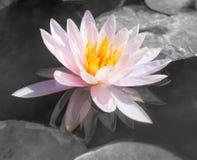 Rosa bonito abstrato waterlily ou flor de lótus no preto e no w Fotos de Stock