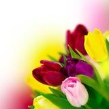 Rosa bonito da tulipa, vermelho, roxo, fundo amarelo do quadrado do ramalhete da flor Molde do cartão Narture da mola Delicado to Imagens de Stock
