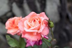 Rosa bonito e colorido Rosa fotografia de stock