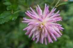 Rosa bonito e flor roxa no jardim imagem de stock