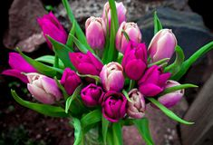 Rosa bonito e flores roxas do ramalhete das tulipas foto de stock