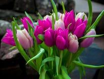 Rosa bonito e flores roxas do ramalhete das tulipas foto de stock royalty free