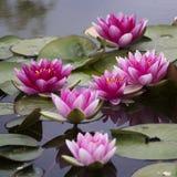 Rosa bonito waterlily na lagoa Imagem de Stock Royalty Free
