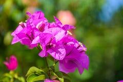 Rosa Bougainvillea Royaltyfri Foto