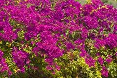 Rosa bougainvillea eller pappers- blomma Royaltyfria Bilder