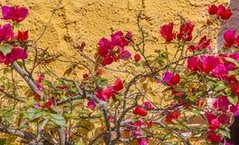 Rosa bougainvillea San Miguel de Allende Mexico för gul vägg Arkivfoton