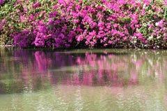 Rosa bougainvilleablommablom bredvid en pöl Arkivfoton