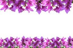 Rosa bougainvilleablommaisolat på vit bakgrund Arkivbild