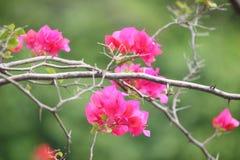 Rosa bougainvilleablommor Royaltyfri Fotografi