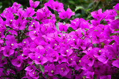 Rosa bougainvilleablommor Royaltyfria Bilder