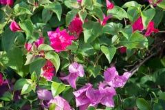 Rosa bougainvilleablommor Fotografering för Bildbyråer