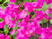 Rosa bougainvilleabuske Arkivbild