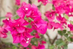 Rosa bougainvilleaglabraChoisy blomma Royaltyfri Fotografi